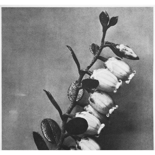 1935 Karl Blossfeldt Photogravure N89-90 For Sale In Dallas - Image 6 of 9