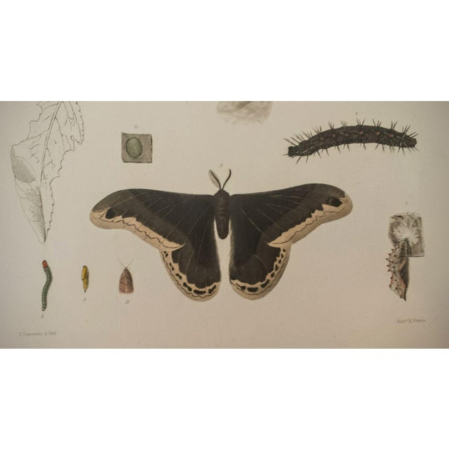 Antique 1854 Emmons Entomology Moth Lithograph - Image 2 of 2