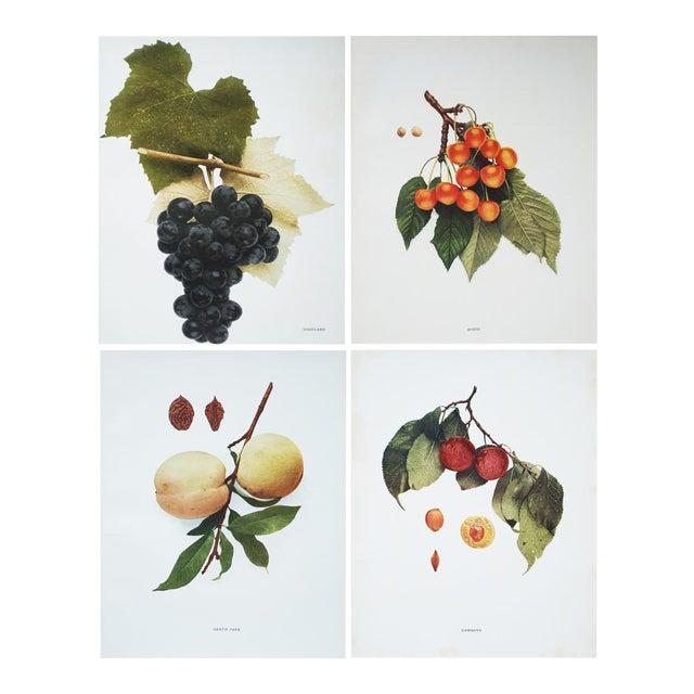 Large Antique Fruit Photoengravings - Set of 4 - Image 1 of 7