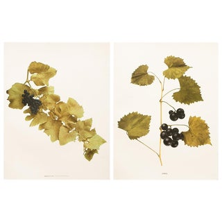 1900s Original Grapes Photoengravings by Hedrick - Set of 2 For Sale