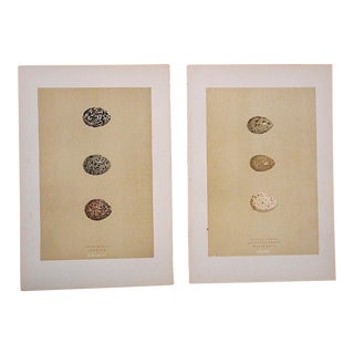 Antique Egg Lithographs-Set of 2-Water Bird Eggs For Sale