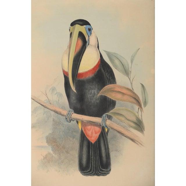 "John Gould ""Ramphatos Inca-Toucan"" Bird Litho. - Image 3 of 9"