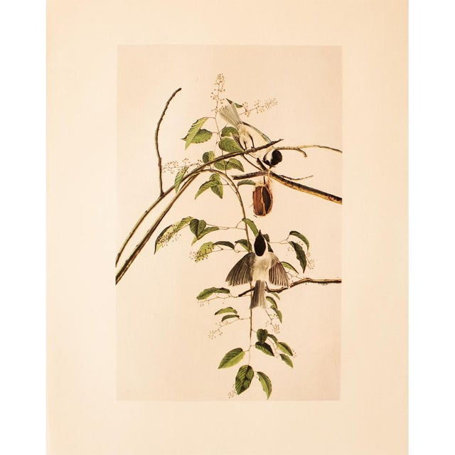 Green 1960s Cottage Lithograph of Carolina Titmouse or Carolina Chickadee by Audubon For Sale - Image 8 of 8