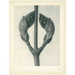 1928 Acer Rufinerve, Original Period Photogravure N22 by Karl Blossfeldt For Sale