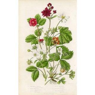 1860s, Raspberry and Strawberry, Botanical Print by Anne Pratt For Sale