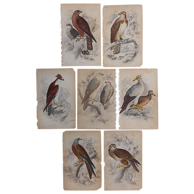 Antique Birds of Prey Engravings - Set of 7 For Sale