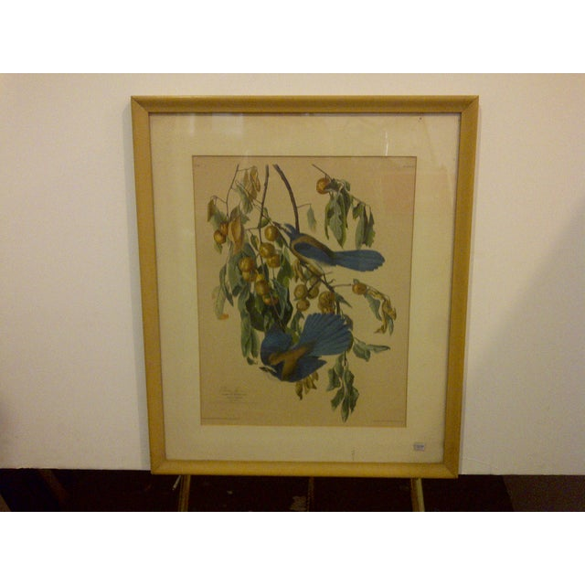 """Traditional Vintage """"Florida Jay"""" Engraving Copy For Sale - Image 3 of 8"""