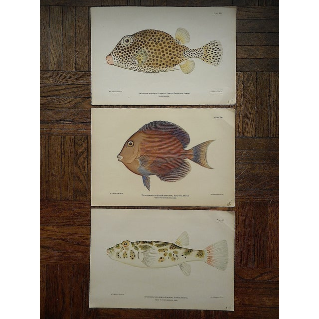 Antique Tropical Fish Lithographs - Set of 3 - Image 2 of 5