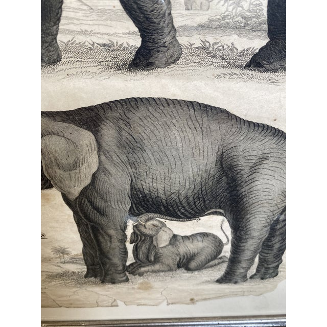 1890s Scientific Study of Elephants Print, Framed For Sale - Image 4 of 7