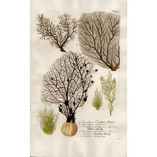 Mid 18th Century Johann Weinmann Colored Engraving of Corals For Sale