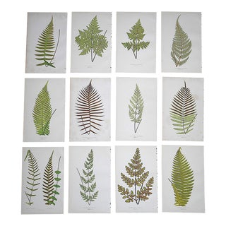Antique 19th Century Botanical Wood Engravings - Ferns - Set of 12 For Sale