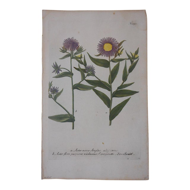 Johann Weinmann Botanical Mezzotint Print Circa 1740 For Sale