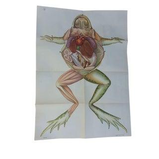 Vintage Anatomy Science Poster - Frog For Sale