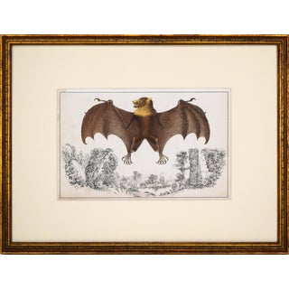 19th Century Hand Colored Engraving of a Bat C.1850s For Sale