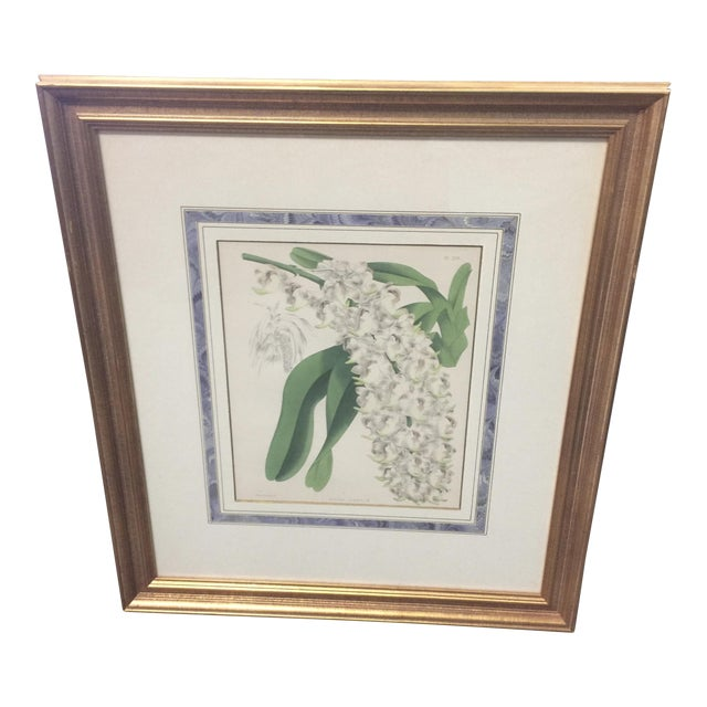 Botanical Print of Christmas Orchids For Sale