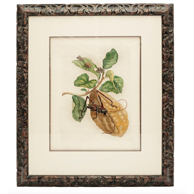 18th Century Antique Maria Sydilla Merian Hand Colored Engraving For Sale - Image 4 of 4