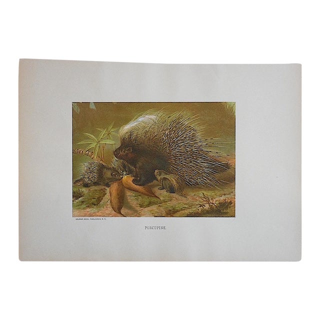 Antique Porcupine Lithograph For Sale