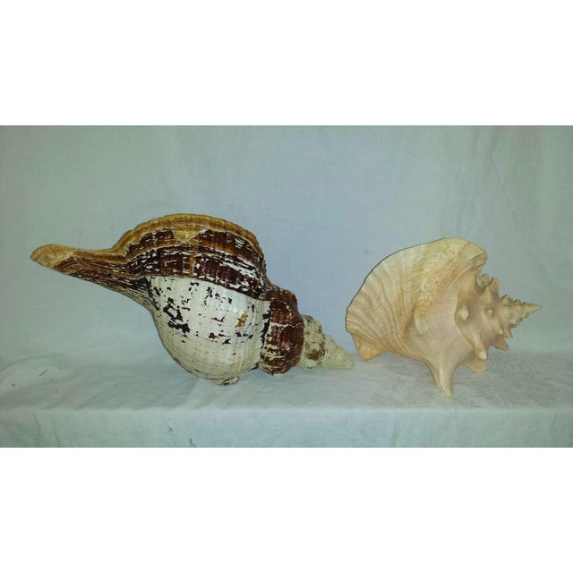 Huge Nautical Natural Conch Shells - a Pair For Sale - Image 5 of 6