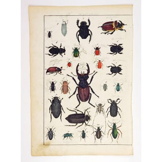 Hand Colored Insect Beetles Woodcut Print Preview