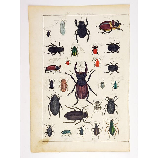 Circa 1840's hand colored woodcut of a collection of beetles Unmarked, age toning, spots, pencil notations edge wear.