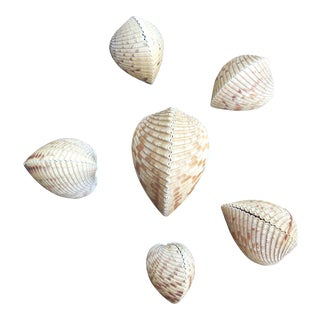Natural Cockles Seashells - Set of 6