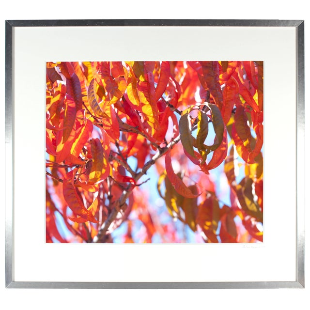 "Contemporary Gaétan Caron ""Early Charlotte (Peach Tree)"" Mendocino Photograph, 2015 2015 For Sale - Image 3 of 5"