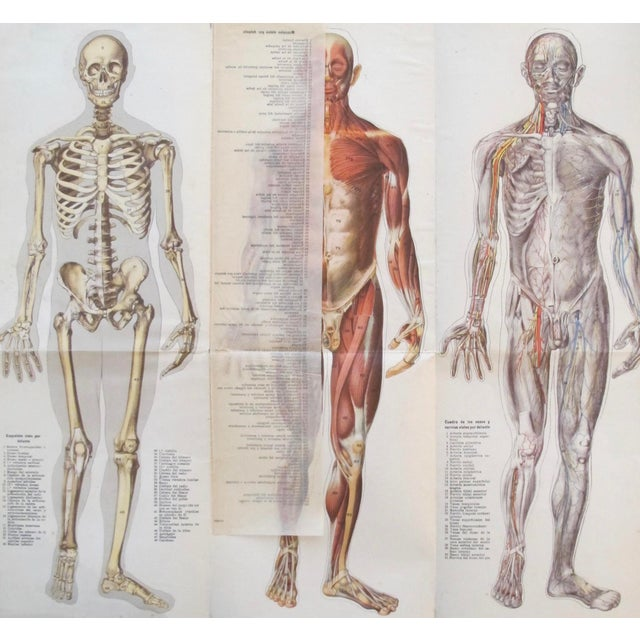 1908 Medical Anatomy Chart, Male | Chairish