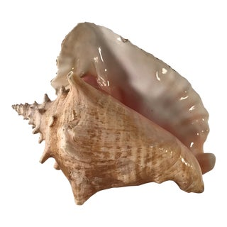20th Century Organic Modern Caribbean Queen Pink Conch Shell