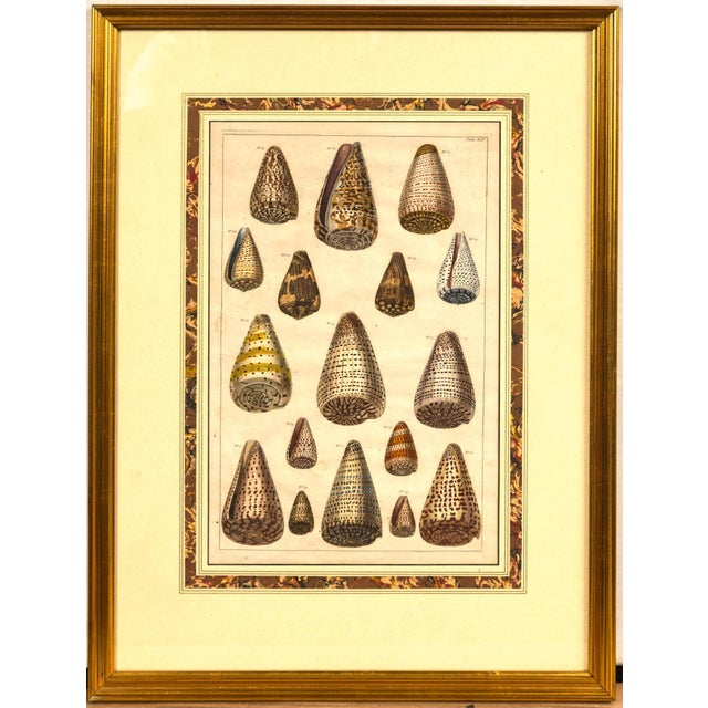 Tan Pair of Framed Hand-Colored Lithographs of Shell Species, 19th Century For Sale - Image 8 of 11