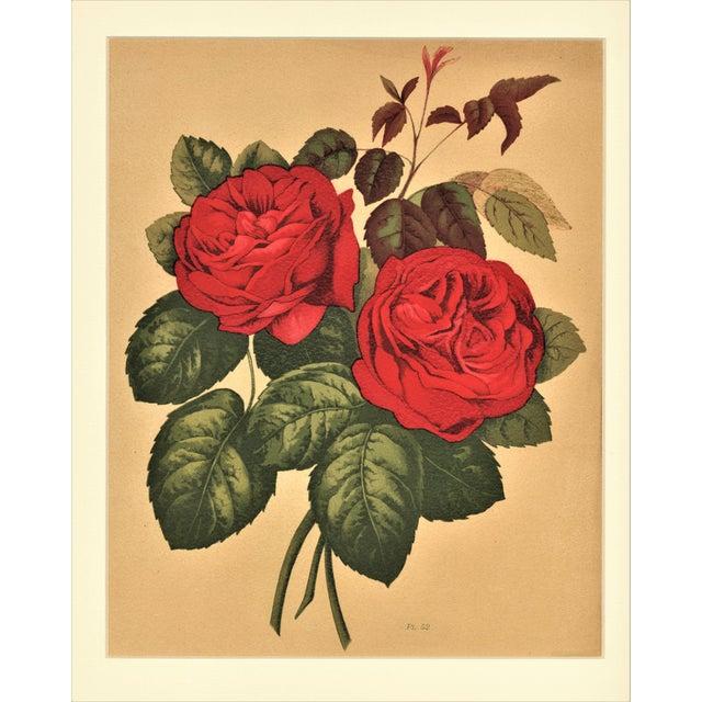 1880 Rose Botanical Chromolithograph - Image 2 of 4
