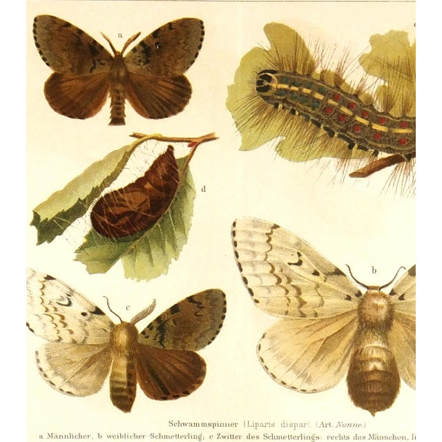 Antique Butterfly Print, 1894 - Image 2 of 3