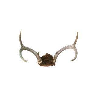 Natural Deer Antlers 5-Point