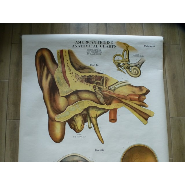 Vintage American Frohse anatomy chart - Eye & Ear . This classroom pull-down chart is in excellent condition. It came from...