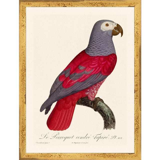 Illustration Jacques Barraband Grey Parrots Framed - Set of 4 For Sale - Image 3 of 12