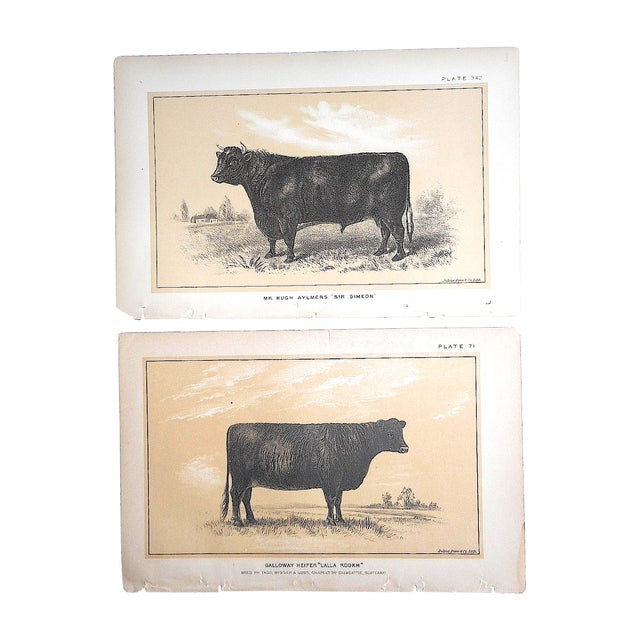Antique Bull & Cow Lithographs - A Pair - Image 1 of 5