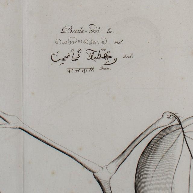 Brown Hendrik Van Rheede Botanical Engravings, 17th Century - a Pair For Sale - Image 8 of 11