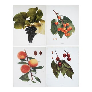 Fruits of Ny Large Antique Prints by U.P.Hedrick - Set of 4