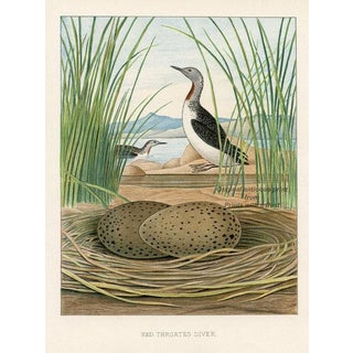 Red-Throated Diver, 1880s Lithograph For Sale