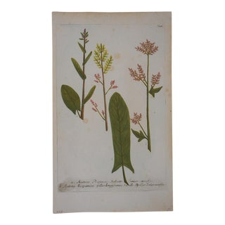 Johann Weinmann Botanical Mezzotint C.1740-Folio Size For Sale