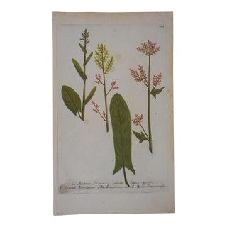 Johann Weinmann Botanical Mezzotint C.1740-Folio Size For Sale