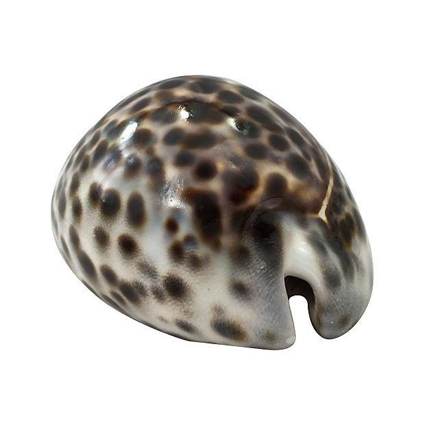 Large Cowrie Shells - S/3 - Image 4 of 5