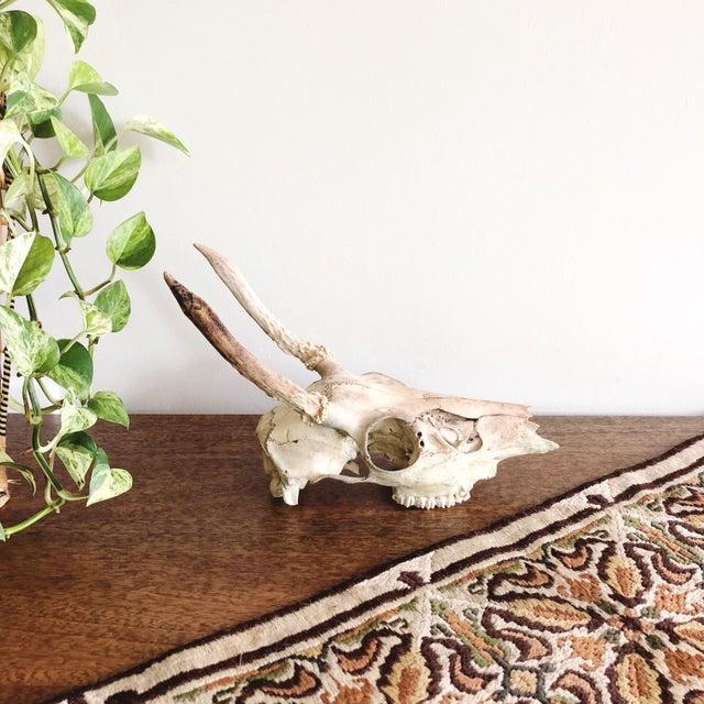 1990s Vintage Deer Skull and Antlers For Sale - Image 5 of 7