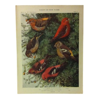 """1925 """"Crossbill"""" the State Museum Birds of New York Print For Sale"""