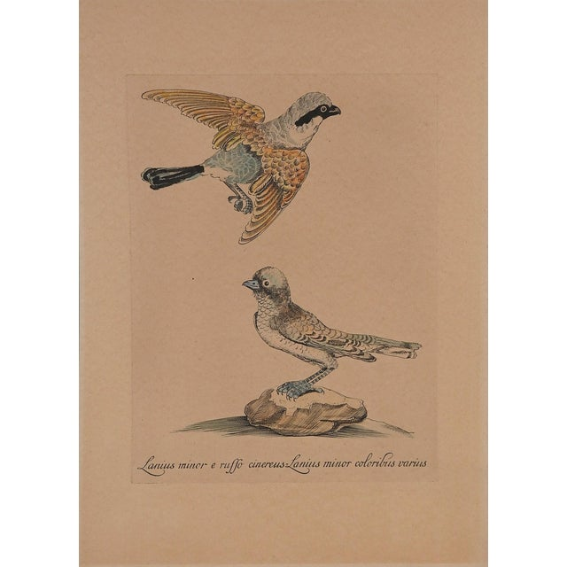 Hand-colored etching on paper of a male and female shrike, circa 1960 reproduction of the 1770s original. Unframed.