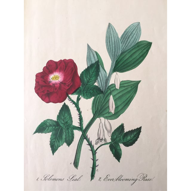Ever Blooming Rose Hand Colored Lithograph C.1900 - Image 1 of 4