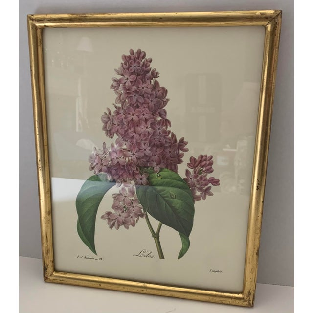 Framed reproduction antique lilac botanical print. As found giltwood frame with overall light wear and gold loss to frame.