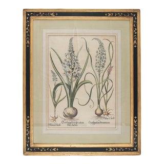 "Basil Besler ""Ornithogalum Spicatum"" Botanical Print For Sale"