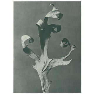1928 Original Photogravure N41 of Silphium Laciniatum by Karl Blossfeldt For Sale