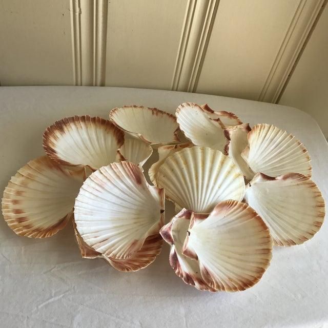 Natural Sea Shells - Set of 15 - Image 2 of 11