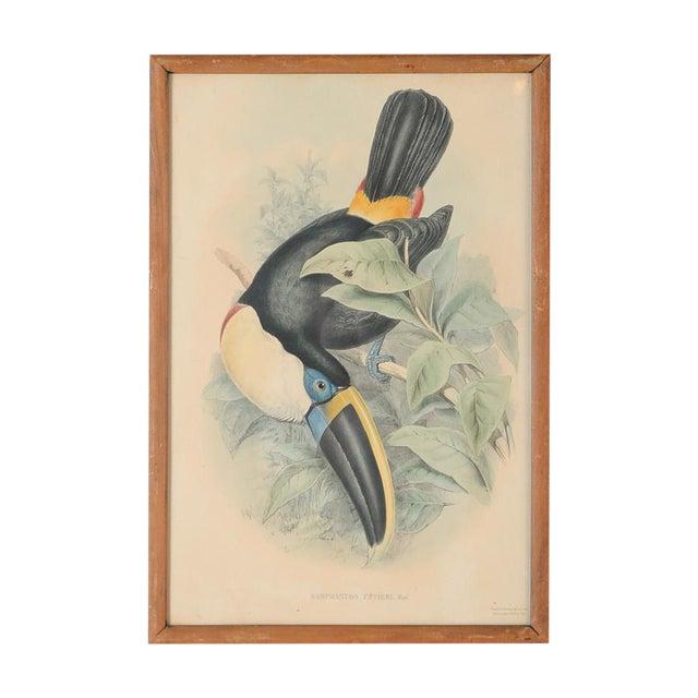 "John Gould ""Ramphatos Cuvieri-Toucan"" Bird Litho. - Image 1 of 8"